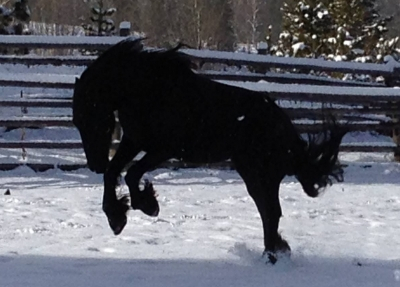 friesian playing in snow